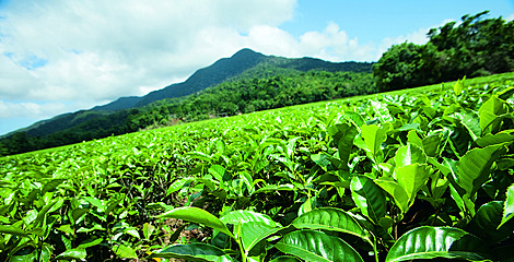 Daintree tea plantation