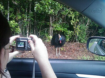 Cassowary by the road