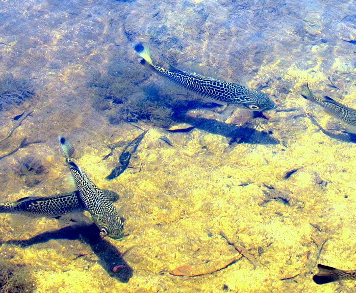 Frogs and Fishes of the Daintree