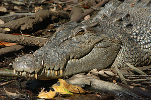 Salt-water (Estuarine) Crocodile - Dan Irby's Mangrove Adventures