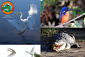 Great egrets, kingfisher and crocodile on the Daintree River
