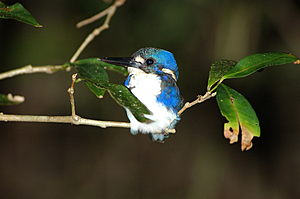 Little kingfisher -  Dan Irby's Mangrove Adventures