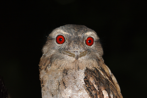 Papuan frogmouth - Dan Irby's Mangrove Adventures