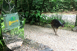 Wild cassowary wandering around the Daintree Discovery Centre