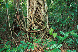 Huge Strangler Fig - Daintree Discovery Centre